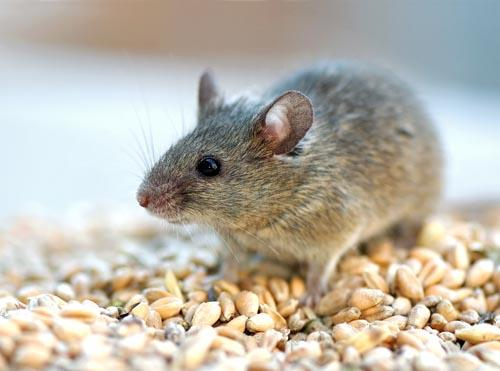 Mice, Rats and Rodents